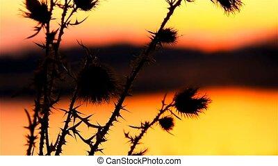 camel thorn on background sun of sunrise sunset landscape -...