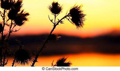 camel thorn sun on background of sunrise sunset landscape -...