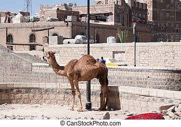 Camel tied up in Sanaa, Yemen