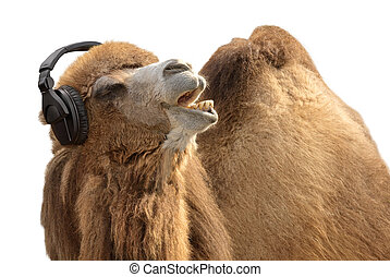 Humorous shot of a camel listening to music and singing along passionately