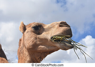 Camel with Mouth Full of Food - Beautiful camel with mouth ...