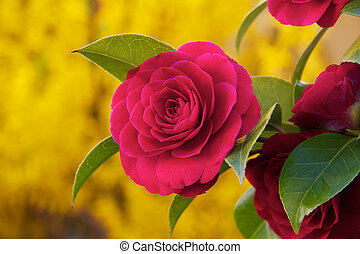 Camelia photographed up close - Pink camellia in the ...