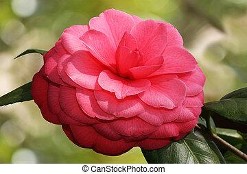 camellia, blomst, blokken
