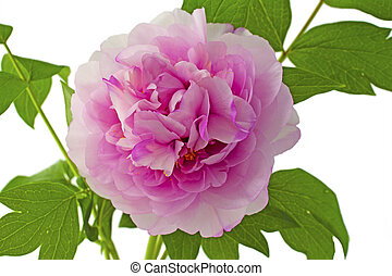 Camellia - Close up of a big pink wonderful camellia
