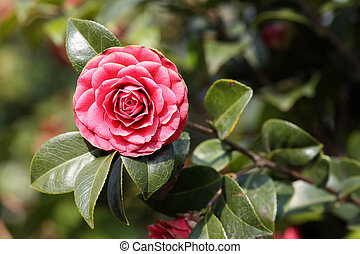 Camellia - Details of a blossoming camellia branch in spring...