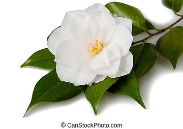 Camellia flower with leaves on white background