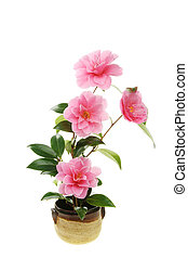 Camellia flowers in a pot