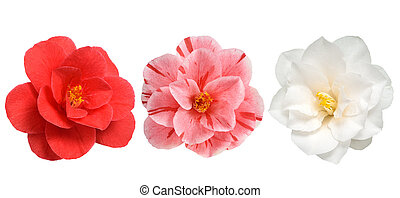 Camellia flowers isolated