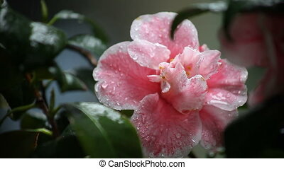 camellia in the rain