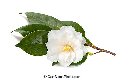 Camellia japonica - Camellia branch with Flower Isolated on...
