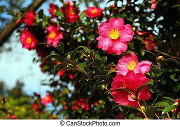 Camellia japonica - Japanese camellia, also known as the ...