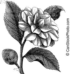 Camellia Japonica or Rose of winter vintage engraving