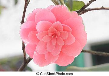 Camellia japonica - single pink camellia flower close up