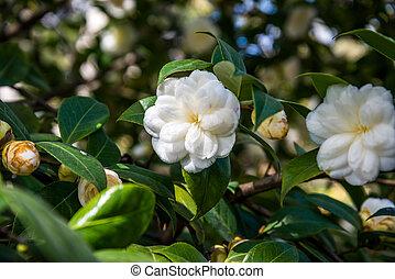 Camellia Japonica.