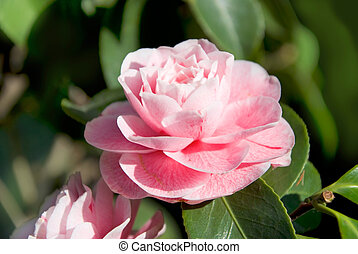 camellia - macro of a pink camelia blossom with shallow...