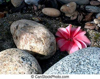Camellia on the rock