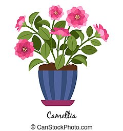 Camellia plant in pot isolated on the white background,...