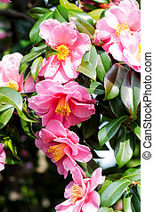 Camellia sasanqua flower blooming in the spring.