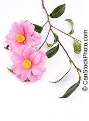 Camellia sasanqua flowers