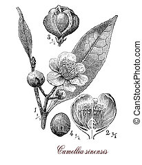 Vintage print describing Camellia sinensis or Camellia flowering plant botanical morphology:leaves are used to produce tea, plant originates from Asia and is cultivated in tropical and subtropical areas. Flowers are yellow-white with 7-8 petals, seeds are pressed for tea oil for cooking.