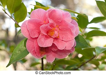 Camellia, the camellias, is a genus of flowering plants in ...
