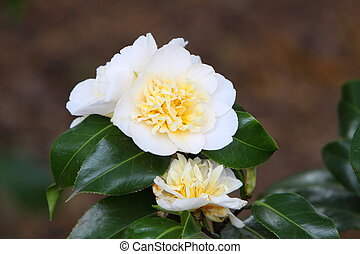 Camellia - White camellia in flower