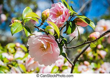 Camellia william SII