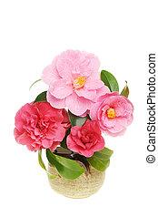 Camellias in pot