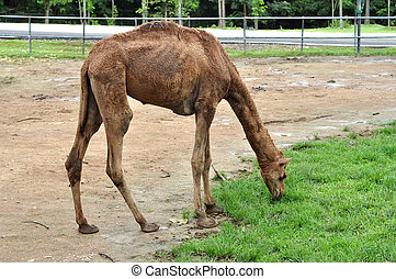 camello del dromedario