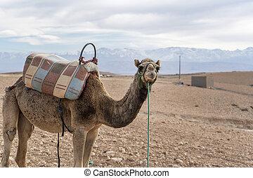 camello del dromedario, marrakech, , desierto, marruecos, ...