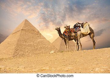 camello, doble, pirámides de giza