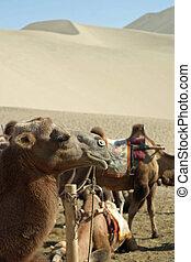 camello, en, mingsha, shan, dunhuang, china