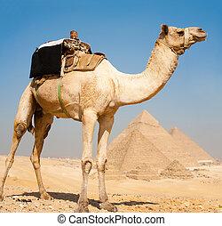 camello, todos, pirámides, juntos, giza