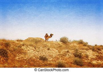 camelo árabe, pastar, em, a, israelita, negev, desert.