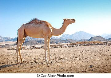 camelo, em, a, deserto