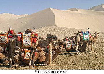 camelo, em, mingsha, shan, dunhuang, china