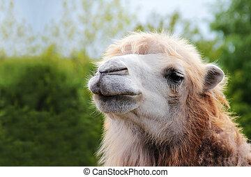 camelo, retrato, cima