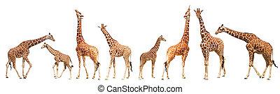 camelopardalis), jirafa, (giraffa