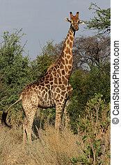 camelopardalis), okavango, (giraffa, jirafa, botswana., delta