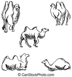 Camels. A sketch by hand. Pencil drawing