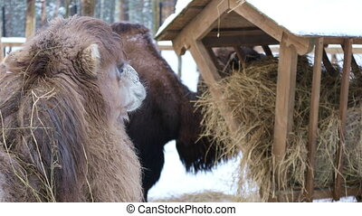 Camels at the feeder eating hay at winter day