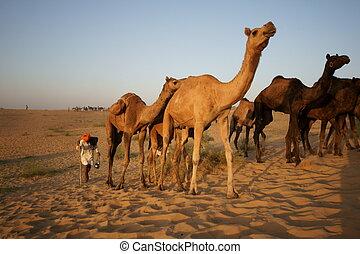Camels Crossing the Desert - Herd of camels in the desert of...