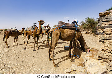 camels drink water