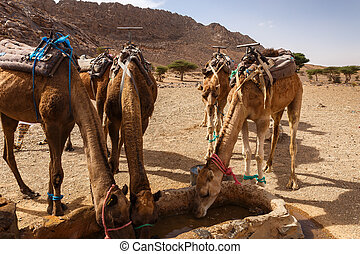 camels drink water from the well