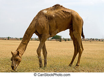 Camels eating grass in the desert