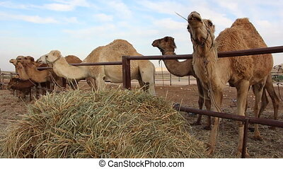 Camels eating in a ranch - Shot of Camels eating in a ranch