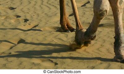 Camels striding across the desert sand.