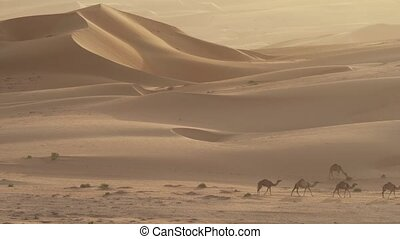 Camels go to pasture early in morning against background of...