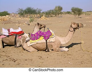 camels III - two camels waiting for their riders