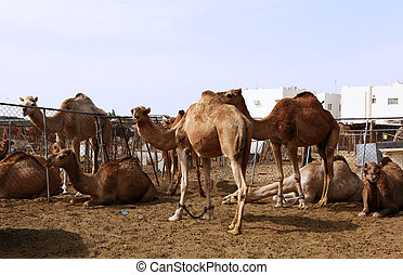 Camels in a pen in Doha
